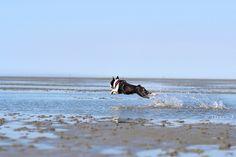 Agility Boston Terrier.