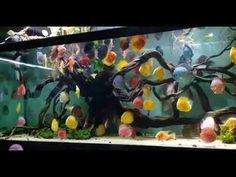 Diskus Aquarium, Discus Fish, Animaux