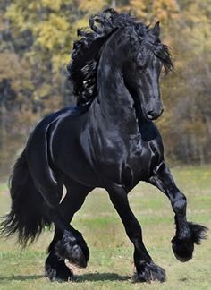 Friesans are the closest remaining modern example of the destrier war horses of the medieval era, being somewhere between Spanish horses and shire horses in size. Traditionally they are a military breed that have also been used for dressage, agricultural work, and as carriage horses. Friesans are known to be extremely friendly, often forming unusually intense bonds with their owners.