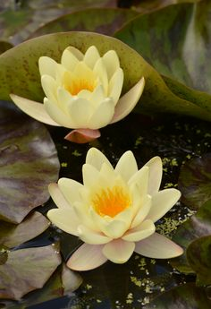 https://flic.kr/p/w3YA4n | Two Water Lillies | If you like flower pictures check out my Flowers album at: www.flickr.com/photos/125321233@N06/sets/72157645083468107