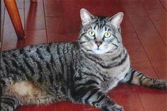 Lost Cat - Tabby - Cornwall, ON, Canada K6J 2V1