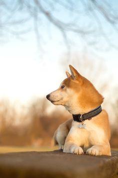 Japanese dog, Shiba 柴犬