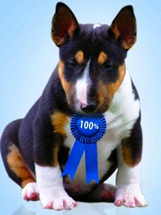 Cambria Miniature Bull Terriers - Miniature Bull Terriers : Other
