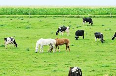 Cattle Fields and Horses - the 2 should not meet - via StableManagement.com