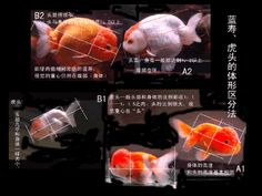 中国金鱼品种图解,太全了! - 吝色鬼 - 吝色鬼 的博客--the picture looks like it is a discussion of fancy goldfish symmetry.