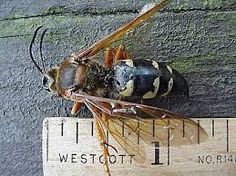 "Although cicada killers are large, female cicada-killer wasps are not aggressive and rarely sting unless they are grasped roughly, stepped upon with bare feet, or caught in clothing, etc. One author who has been stung indicates that, for him, the stings are not much more than a ""pinprick"". Males aggressively defend their perching areas on nesting sites against rival males but they have no sting. Although they appear to attack anything that moves near their territories, male cicada killers…"