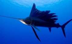 Sailfish - A sailfish can be recognized by the large dorsal fin that looks like a sail that has accordion pleats. That's the first test. If the top of the fish has a sail, it's a sailfish.