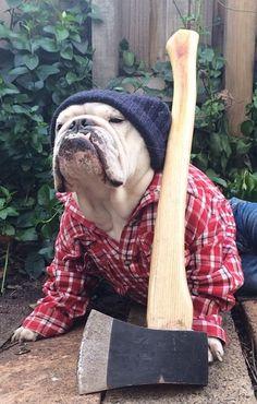 #Bulldog farmer is ready for work..
