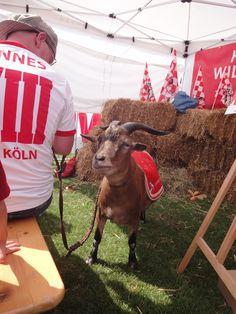 #Hennes VIII. bei der Saisoneröffnung 2013 des 1.FC Köln http://www.ausflugsziele-nrw.net/rheinenergiestadion/