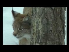Ilves - Suomen eläimiä - YouTube Finland, Teaching Resources, Youtube, Science, Animals, Animales, Animaux, Flag, Animal