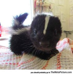 Suddenly, A Tiny Baby Skunk...
