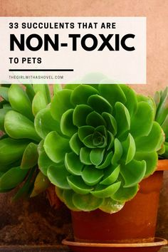 Do your cats chew on your plants? Make sure that they stay safe by purchasing non-toxic plants! Here are 33 succulents that will be safe for cats and dogs! Succulents Safe for Cats | Succulents Safe for Dogs | Are Succulents Safe for Cats | Succulents that are Safe for Cats | Succulents Safe for Dogs | Are Succulents Safe for Dogs | Succulents that are Safe for Dogs | Succulents Non Toxic | Non Toxic Succulents for Cats | Nontoxic Succulents | Best Indoor Plants, Air Plants, Indoor Garden, House Plants Decor, Plant Decor, Zebra Plant, Apartment Plants, Low Light Plants, Propagating Succulents