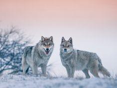 Winter Wolves - winter, bokeh, snow, animal, dog, wolves