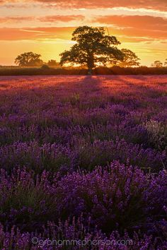 Lavender Tree Portrait by Graham McPherson on 500px
