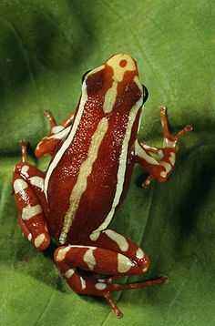 Phantasmal Poison Arrow Frog, Epipedobates tricolor