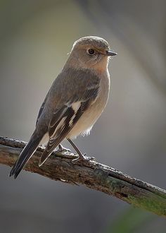 Flame Robin, juvenile | Flickr - Photo Sharing!
