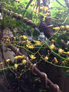 Orquídea amarelinha