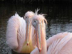 these are the coolest pelicans ever, and all pelicans are cool.