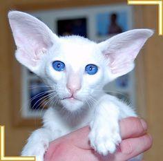 white cats photos - Google zoeken