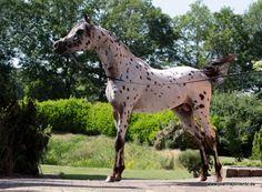 SPOT ON SA, Araappaloosa Stallion in | Appaloosa Horses for Sale