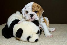 Absolutely Adorable Bullie Puppy