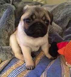 Picture of a beautiful pug puppy. #Pug