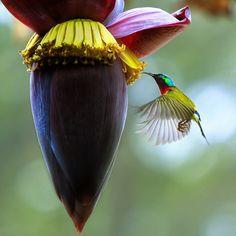Crush on banana flower by qiu35382 on 500px