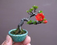 The upright styles in bonsai are one of the most popular and easy styles for beginners. Learn all about the two main upright styles in bonsai growing. Bonsai Tree Care, Indoor Bonsai Tree, Bonsai Plants, Bonsai Garden, Bonsai Trees, Cactus Plants, Ikebana, Mame Bonsai, Chaenomeles