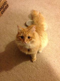 Orange Siberian cat