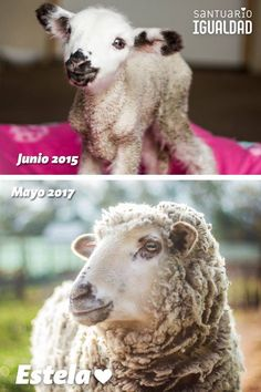 We remember as if it was yesterday: a newborn lamb was dying in a dirty yard at an educational farm and workers walked by her side without doing anything about it. Estela could barely walk she kept falling and her mother wasn't there.  Estela was rescued from that place with the help of committed activists. The next day she was on her way to the Sanctuary in the safety of our arms.  Estelita didn't drink colostrum when she was born and that meant she wouldn't have any immune system until she…