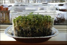 Are you growing microgreens yet? These little powerhouses can be grown just about anywhere and any time of year.  Microgreens are not sprouts – they are grown in soil and harvested fresh while still small. All you need to grow microgreens is a source of light and a tray with sterilized seed starting mix. And, of course, seeds… http://gardenwithpassion.com/growing-microgreens/