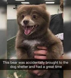 Funny Animal memes is just a great meal of joy and laughter for a person who loves sarcasm or the person who loves his/her pets or animals. Animal memes are such relatable to our experiences. Funny Animal Jokes, Cute Funny Animals, Funny Animal Pictures, Funny Cute, Funny Images, Funny Dogs, Hilarious Pictures, Animal Humor, Funny Bears