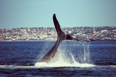 Whale Watching with Romonza Boat Trips in Mossel Bay, South Africa Abseiling, Bungee Jumping, Adventure Activities, Whale Watching, Cruises, South Africa, Trips, Boat, Island