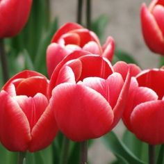 Order your top quality Tulip bulbs here! Tulip Bulbs, Toyota, Rose, Spring, Flowers, Plants, Tulips, Pink, Roses