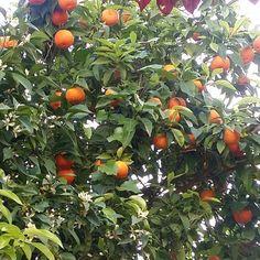 А в Греции уже апельсины ... by kupikorobku.ru
