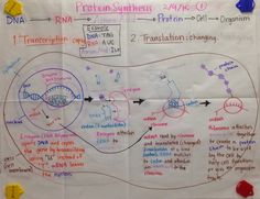 Mrs. Paul - Biology: Protein Synthesis GLAD Anchor Charts notes