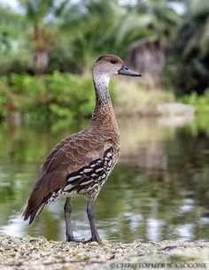 West Indian Whistling Duck. Grand Cayman. Christopher Ciccone Nature Photography