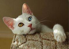 http://static.cibocanigatti.it/gatti/pelo-lungo/turco-van_O1.jpg