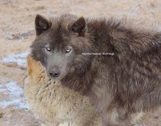 Blue wolfdog