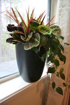 """Contains one pink dracaena (Dracaena marginata """"Colorama"""", one waffle plant (Hemigraphis exotica), two prayer plants (Maranta tricolor) and one black philodendron Container Flowers, Container Plants, Container Gardening, House Plants Decor, Plant Decor, Indoor Planters, Outdoor Plants, Dracaena Marginata, Inside Plants"""