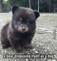 Or a dog disguised as a bear?