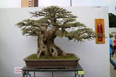 Bonsai Ficus, Bonsai Pruning, Bonsai Garden, Bonsai Trees, Miniature Trees, Tiny World, Abstract Art, Amazing, Gardening