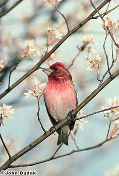 The Purple Finch. Another small songbird that loves our bird feeders. The colors of this photo are beautiful and the overall picture is quite relaxing to look at.