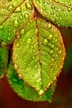Rose leaves with dew drops Water Drops, Rain Drops, Rose Leaves, Plant Leaves, Green Leaves, Photographie Macro Nature, Fotografia Macro, Dew Drops, Metal Tree