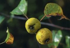 Wild Apples are native to North America