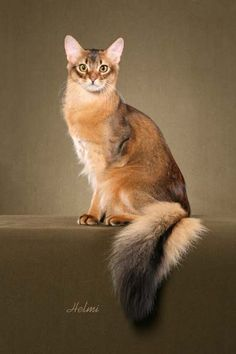 The Somali is a cat breed created from long-haired Abyssinian cats. The breed appeared in the 1950s from Abyssinian breeding programs when a number of Abyssinian kittens were born with bottle-brush tails and long fluffy coats. Abyssinians and Somalis share similar personalities — intelligent, playful, curious — however Somalis are more relaxed and easygoing than the more active Abyssinians
