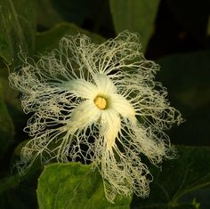 Trichosanthes cucumerina (female flower)