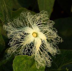 Trichosanthes cucumerina (female flower)