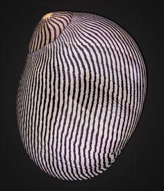 Dubious Nerite (Vittina coromandeliana)