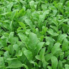 Arugula Herb Seeds (Eruca Sativa) 200+Seeds